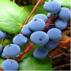 Oregon Grape Root Herbal Oil