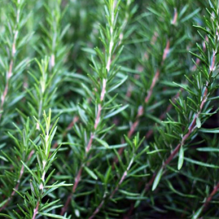 Rosemary Macerated Herbal Oil ORGANIC
