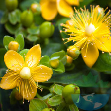 St John Wort Flower Oil