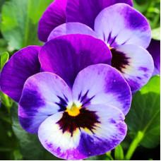 Violet Flower Herbal Oil