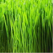 Wheat Grass Oil Organic