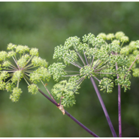 Angelica Root Floral Water