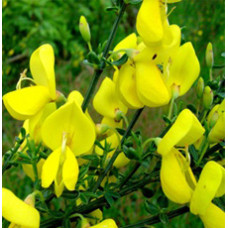 Broom Genet Floral Water (ITALY)