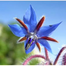 Borage Oil (CHINA)