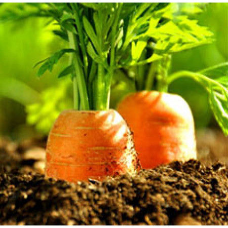 Carrot Seed Essential Oil (INDIA)
