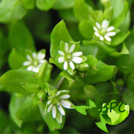 Chickweed herb oil (Canada)