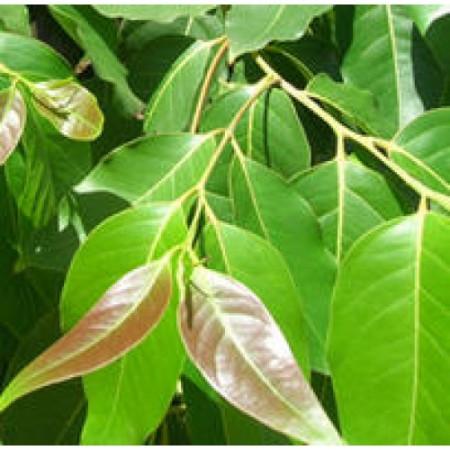 Cinnamon Leaf Floral Water