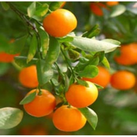 Clementine Essential Oil (Italy)