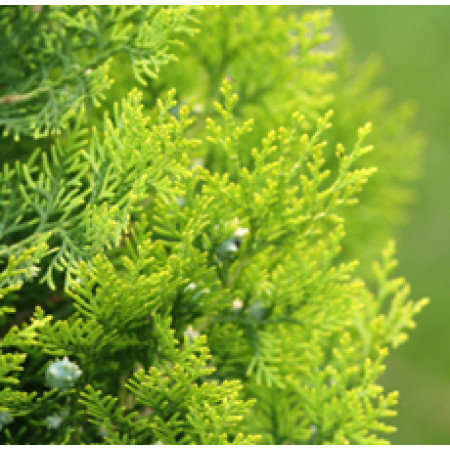 Ceder Leaf Floral Water