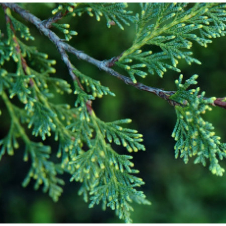 Cypress Essential Oil (Australia)
