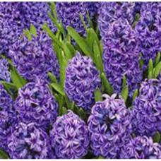 Hyacinth Floral Water