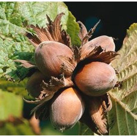 Hazel Nut Oil (ITALY)