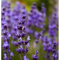 Lavender Floral Water (Bulgarian)