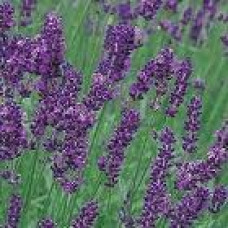 Lavender Floral Water (France)