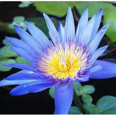 Lotus Blue Floral Water (INDIA)
