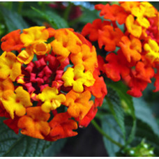 H2O  Lantana Essential Oil (Madagascar)