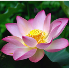 Lotus Pink Essential Oil 5percent