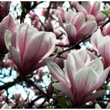 Magnolia Absolute Oil