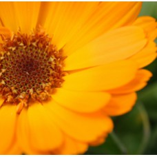 Calendula Essential Oil 5%