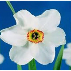 Narcissus Floral Water