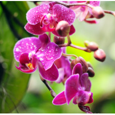 Orchid Rain Fragrant Oil