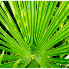 Saw Palmetto Herbal Oil
