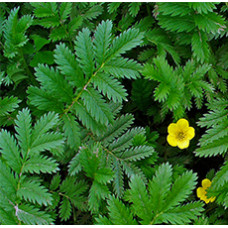 SILVERWEED HERB