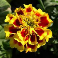 Tagetes Floral Water