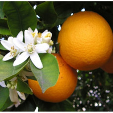 Tangerine Floral Water