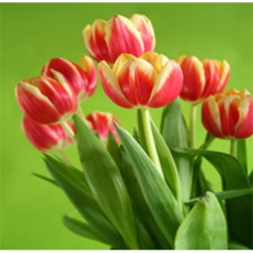 Tulip Floral Water