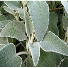White Sage Distllate Water