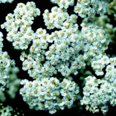 Yarrow Floral Water