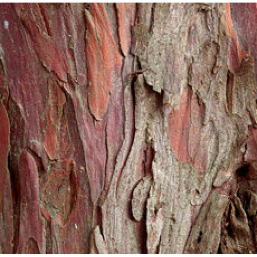 High Quality YEW BARK in Canada and USA