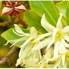 Anise Star Essential Oil (China)