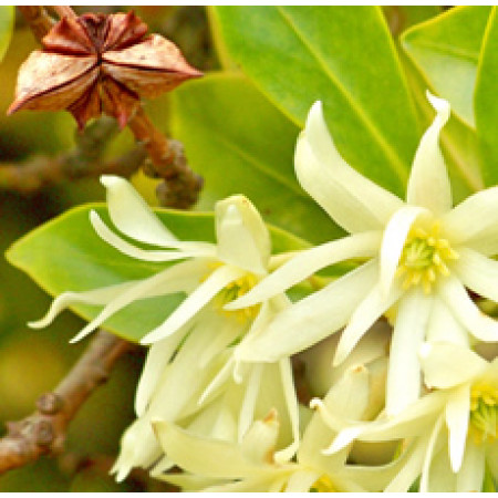 Anise Star Essential Oil (China)ORGANIC