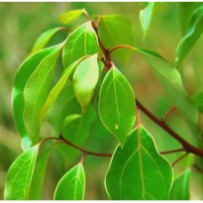 H2O Camphor Essential Oil