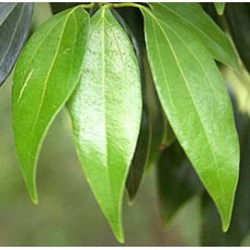 Cassia Essential Oil (China)