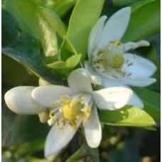 Neroli Essential Oil (India)