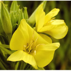 Evening Primrose Oil (CHINA)