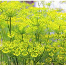 Fennel Essential Oil (Austria) ORGANIC