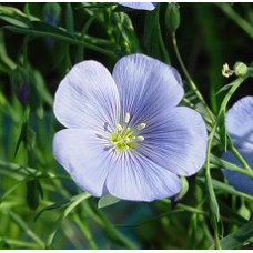 Flax Seed Oil Virgin (INDIA)