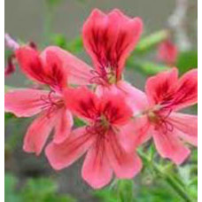 Peppermint Geranium Essential Oil (South Africa)
