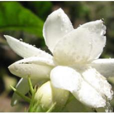 Jasmine Gradiflorum Floral Water