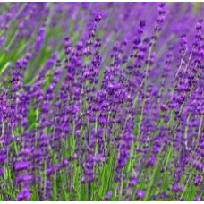 H2O  Lavender Essential Oil (Bulgarian)
