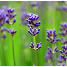 Lavender Essential Oil 40/42