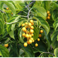 Malkangni Seed Oil (INDIA)