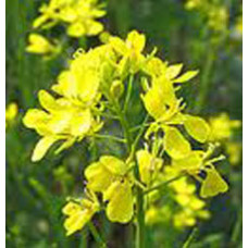 Musterd Seed Oil (INDIA)