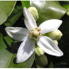 Neroli Essential Oil 5percent