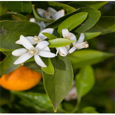 Neroli Essential Oil (Egypt)