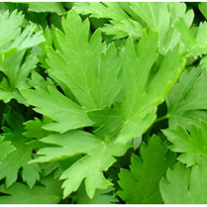 Parsley Essential Oil (INDIA)